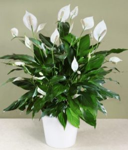 ... Half Shaped Blooms Characterizes The Peace Lily Houseplant. The Peace  Lily Is One Of The Most Popular Houseplants. The Peace Lily (Closet Plant)  Is One ...
