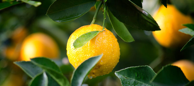 Fruit and Citrus Trees